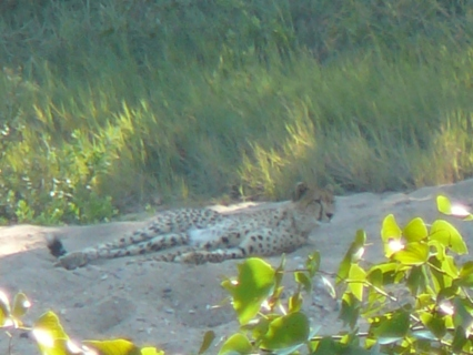 Cheetah on a river bank (spotted from the car)