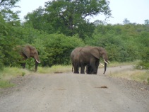 Elephant with a large trunk
