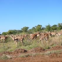 Hello Impala's